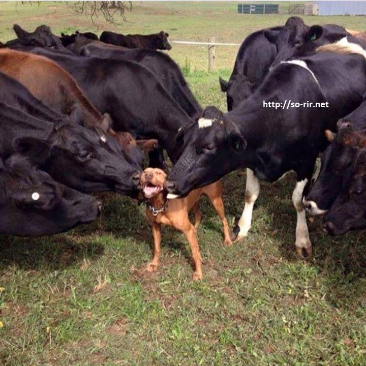 cao e vacas