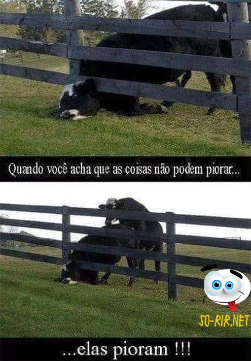 anedotas de vacas, anedotas em imagens, animais